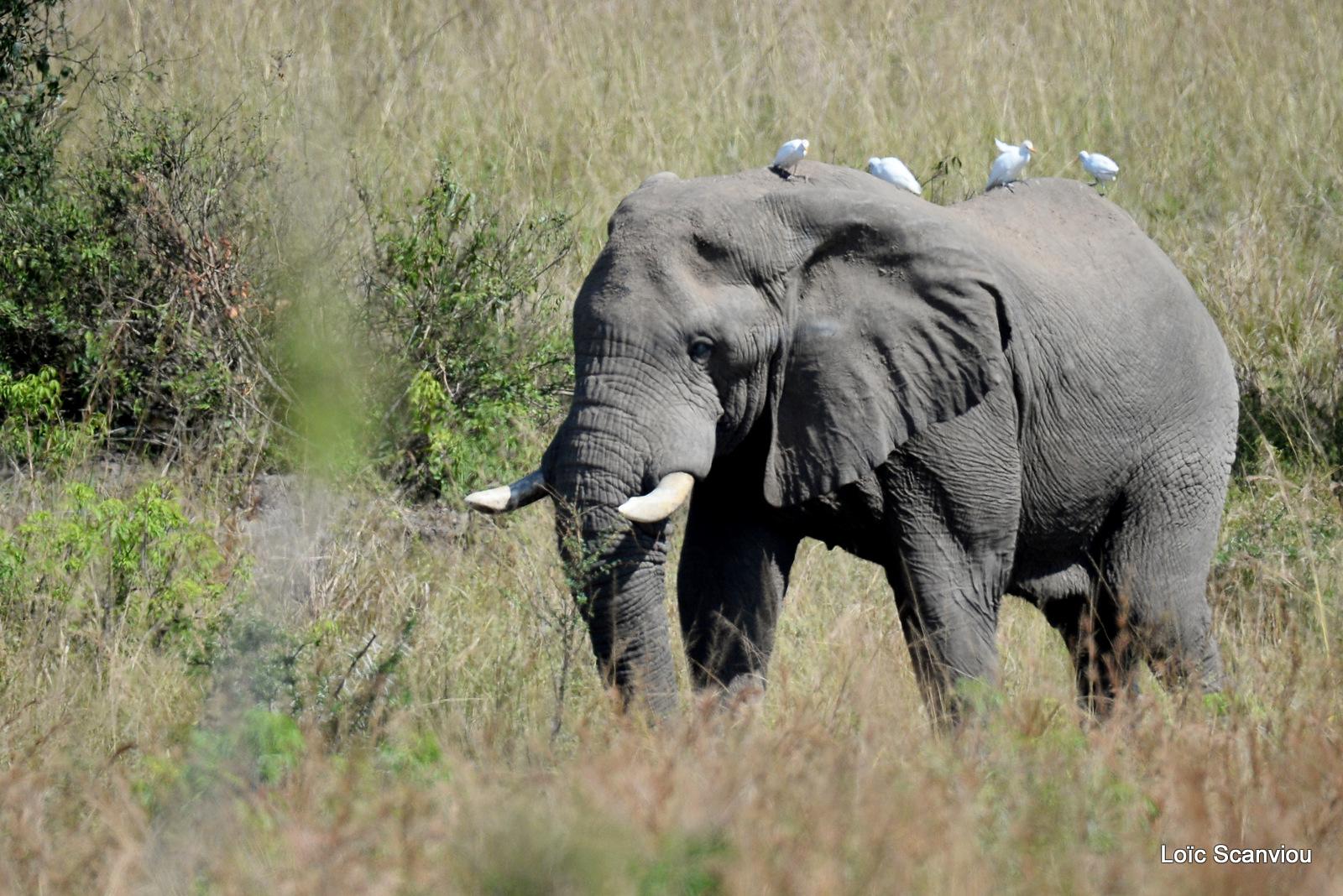 Éléphant de savane d'Afrique/Savanna Elephant (27)