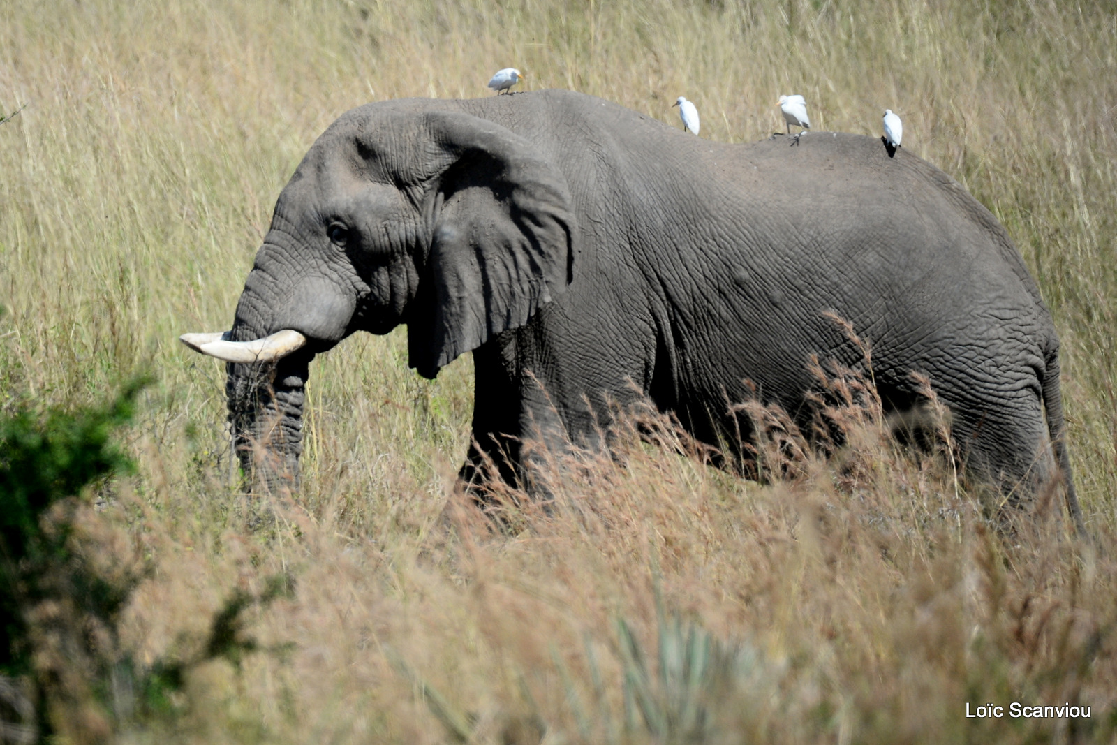Éléphant de savane d'Afrique/Savanna Elephant (28)
