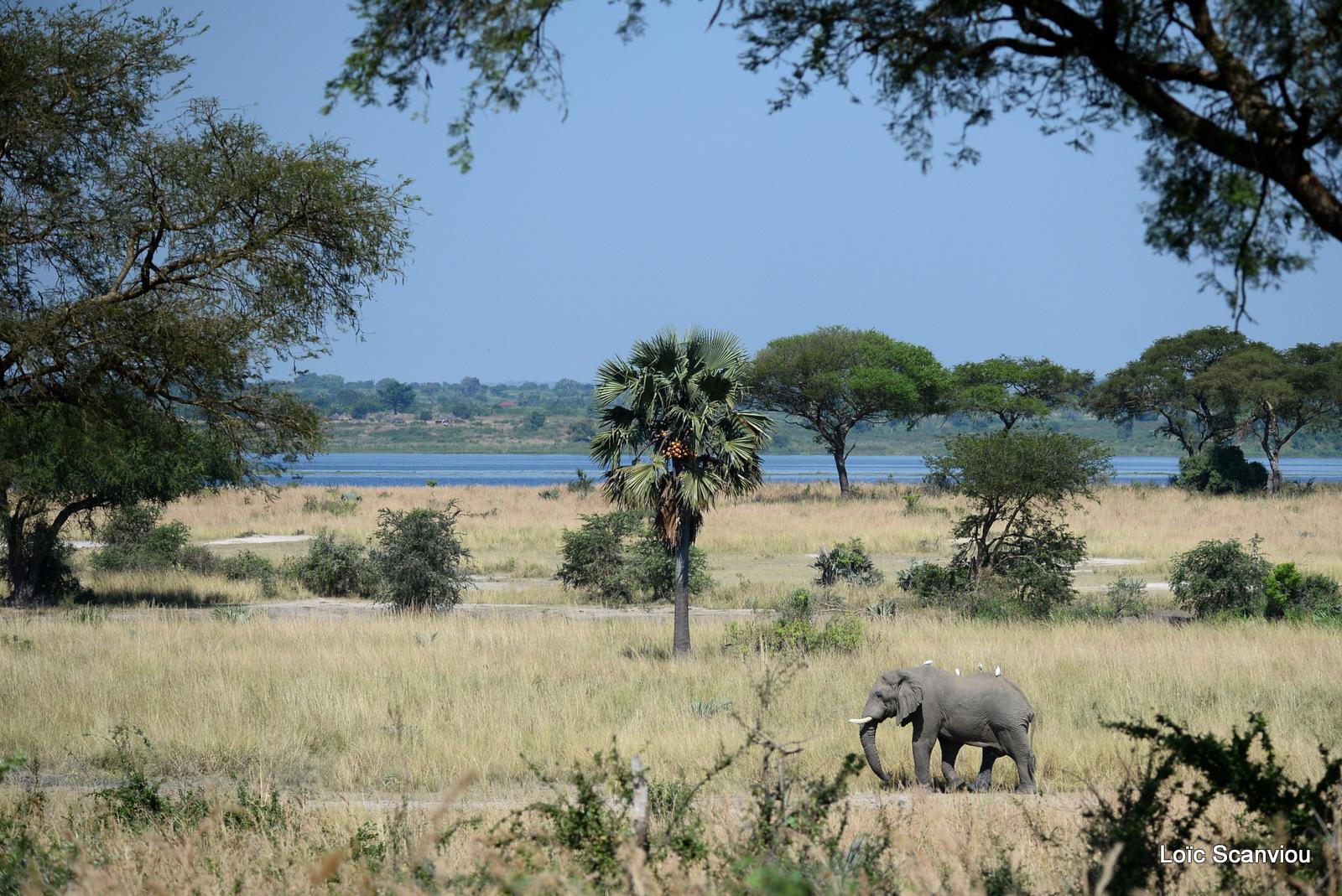 Éléphant de savane d'Afrique/Savanna Elephant (29)