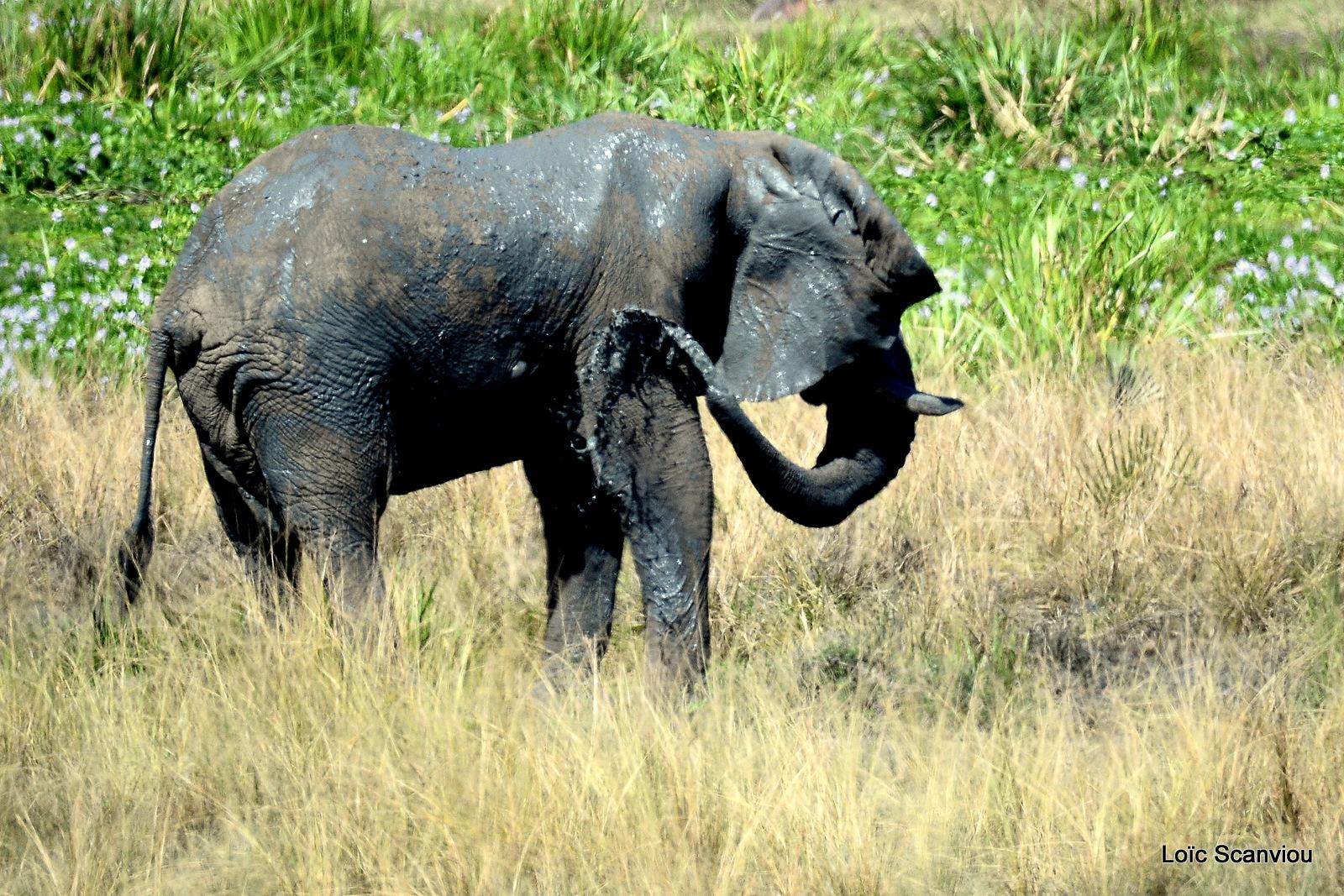 Éléphant de savane d'Afrique/Savanna Elephant (30)