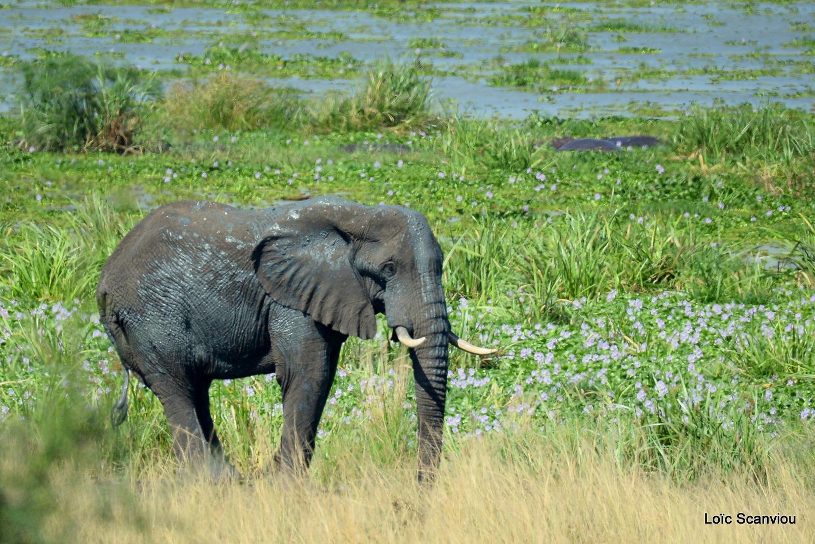 Éléphant de savane d'Afrique/Savanna Elephant (31)