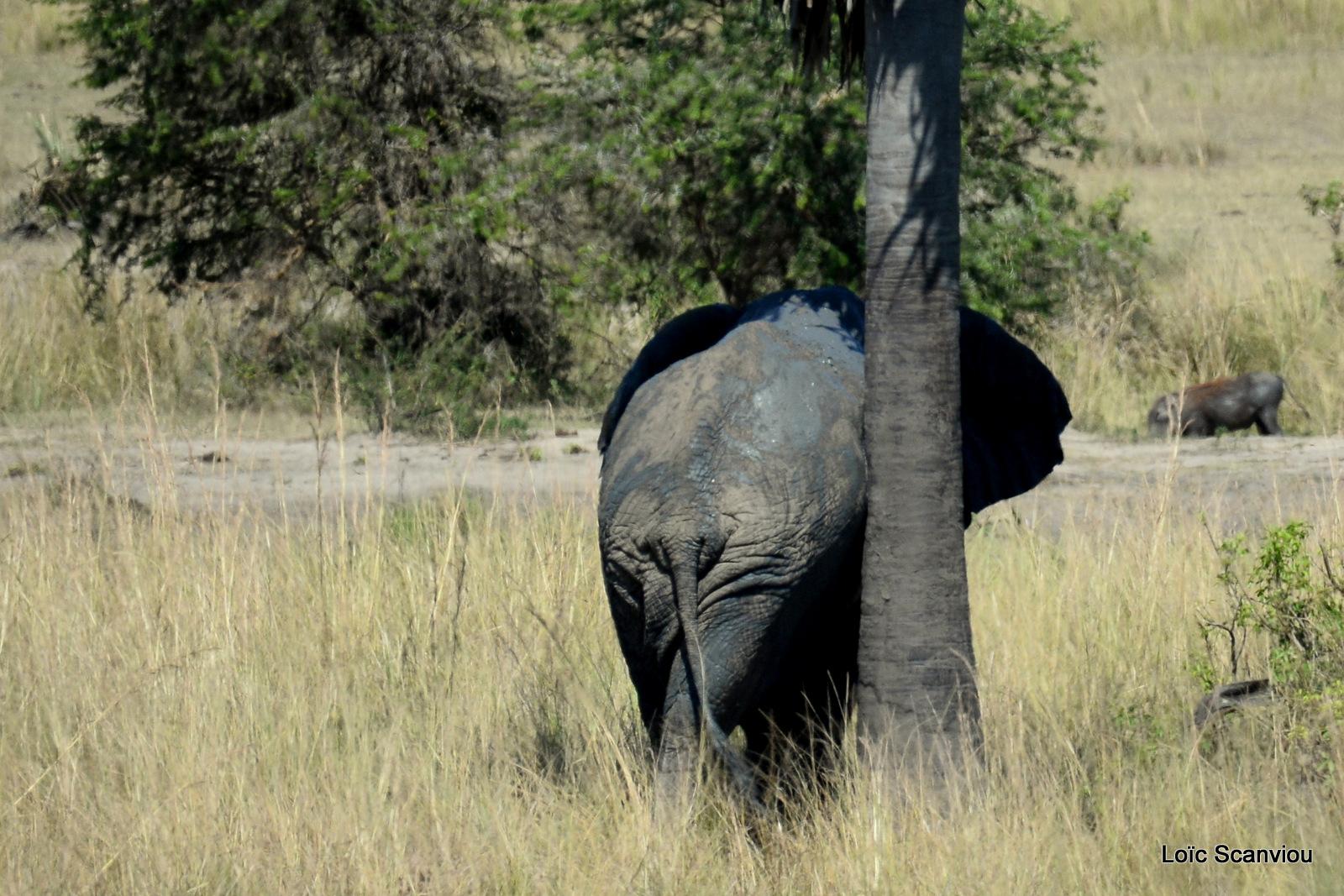 Éléphant de savane d'Afrique/Savanna Elephant (32)