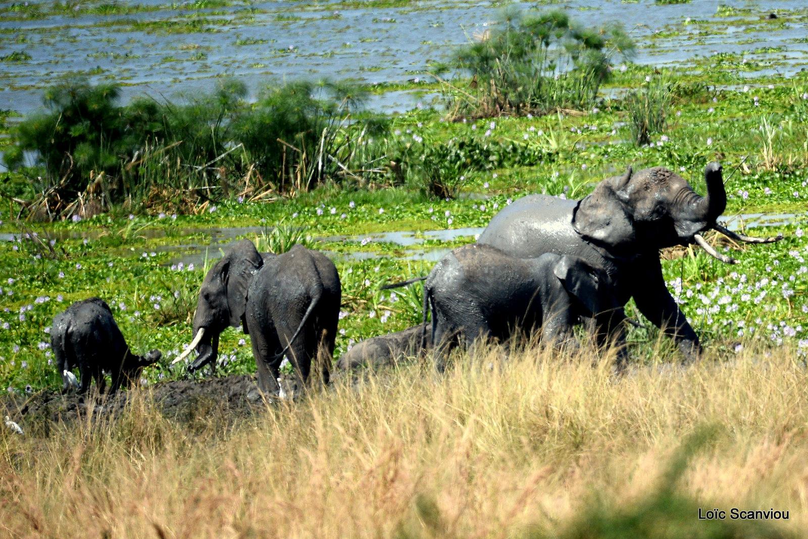 Éléphant de savane d'Afrique/Savanna Elephant (34)