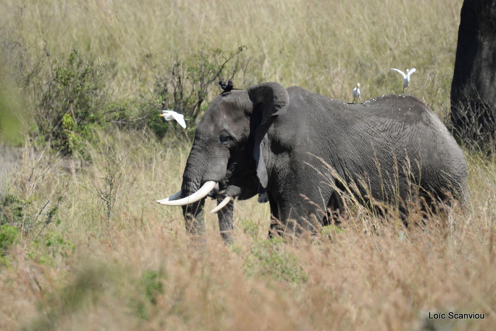 Éléphant de savane d'Afrique/Savanna Elephant (35)