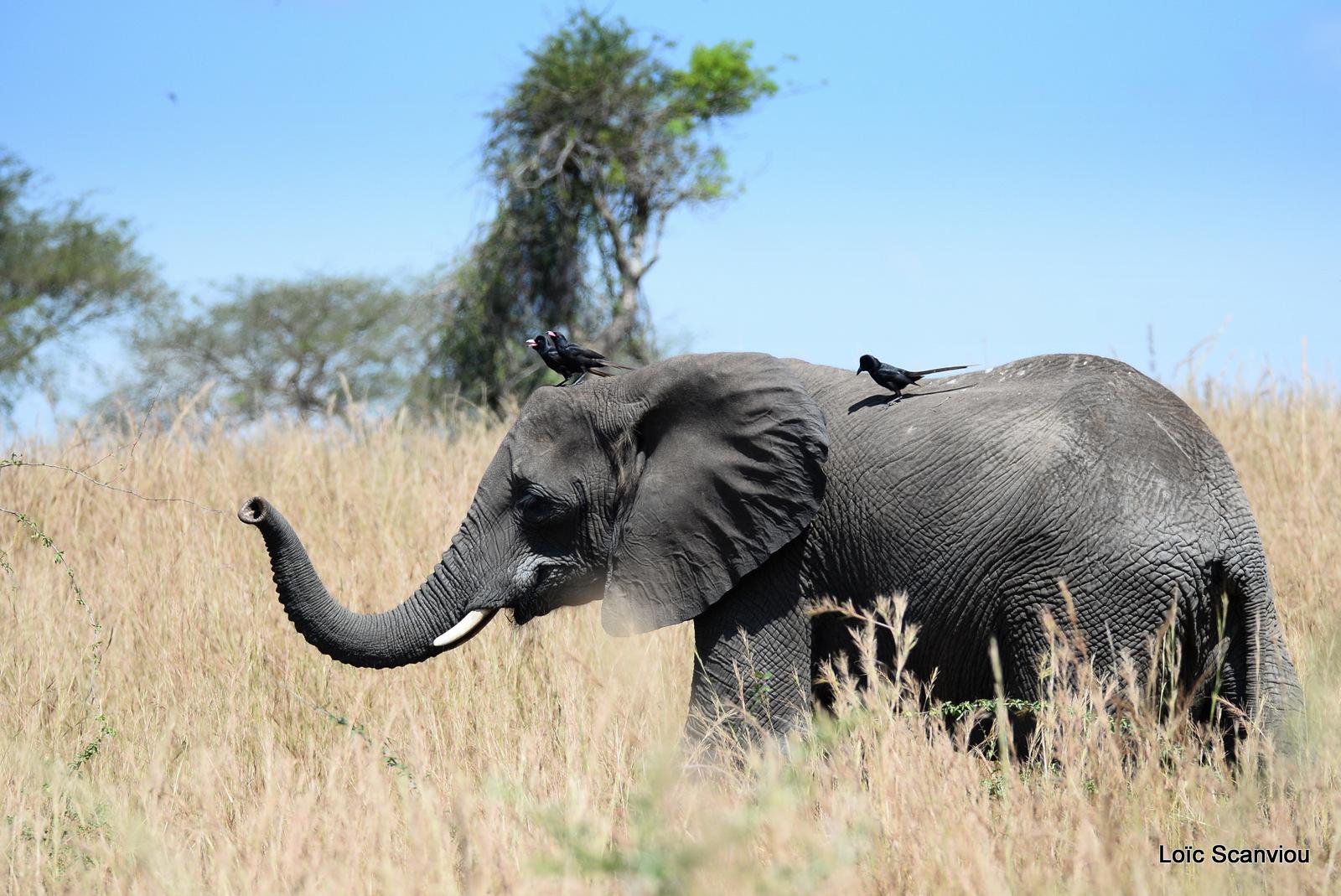 Éléphant de savane d'Afrique/Savanna Elephant (36)