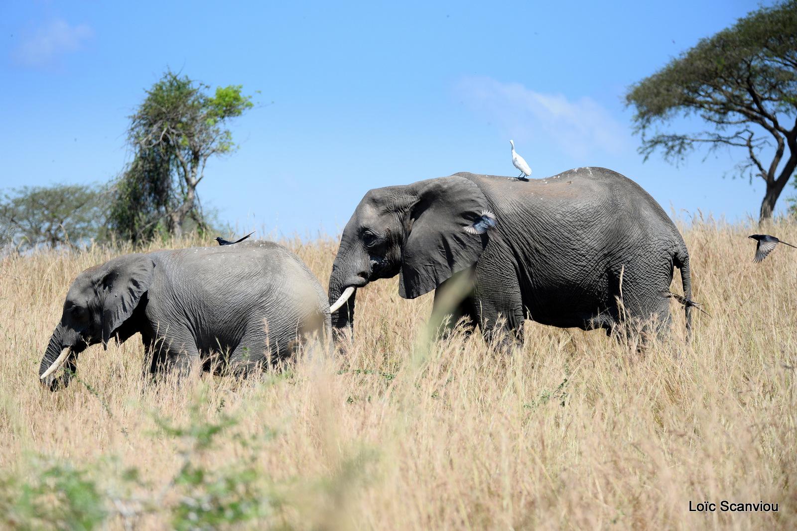 Éléphant de savane d'Afrique/Savanna Elephant (37)