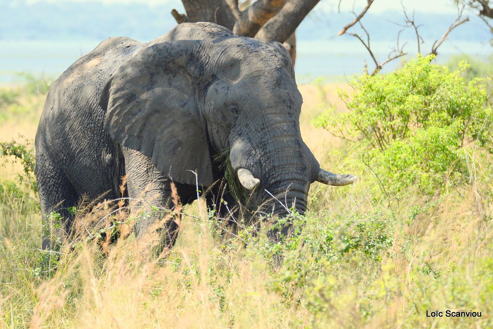 Éléphant de savane d'Afrique/Savanna Elephant (38)