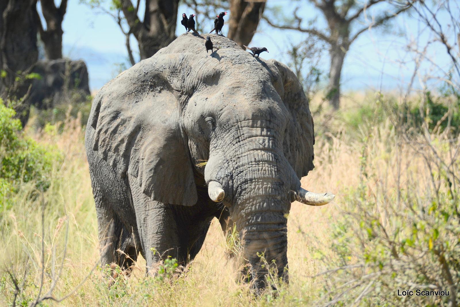 Éléphant de savane d'Afrique/Savanna Elephant (39)