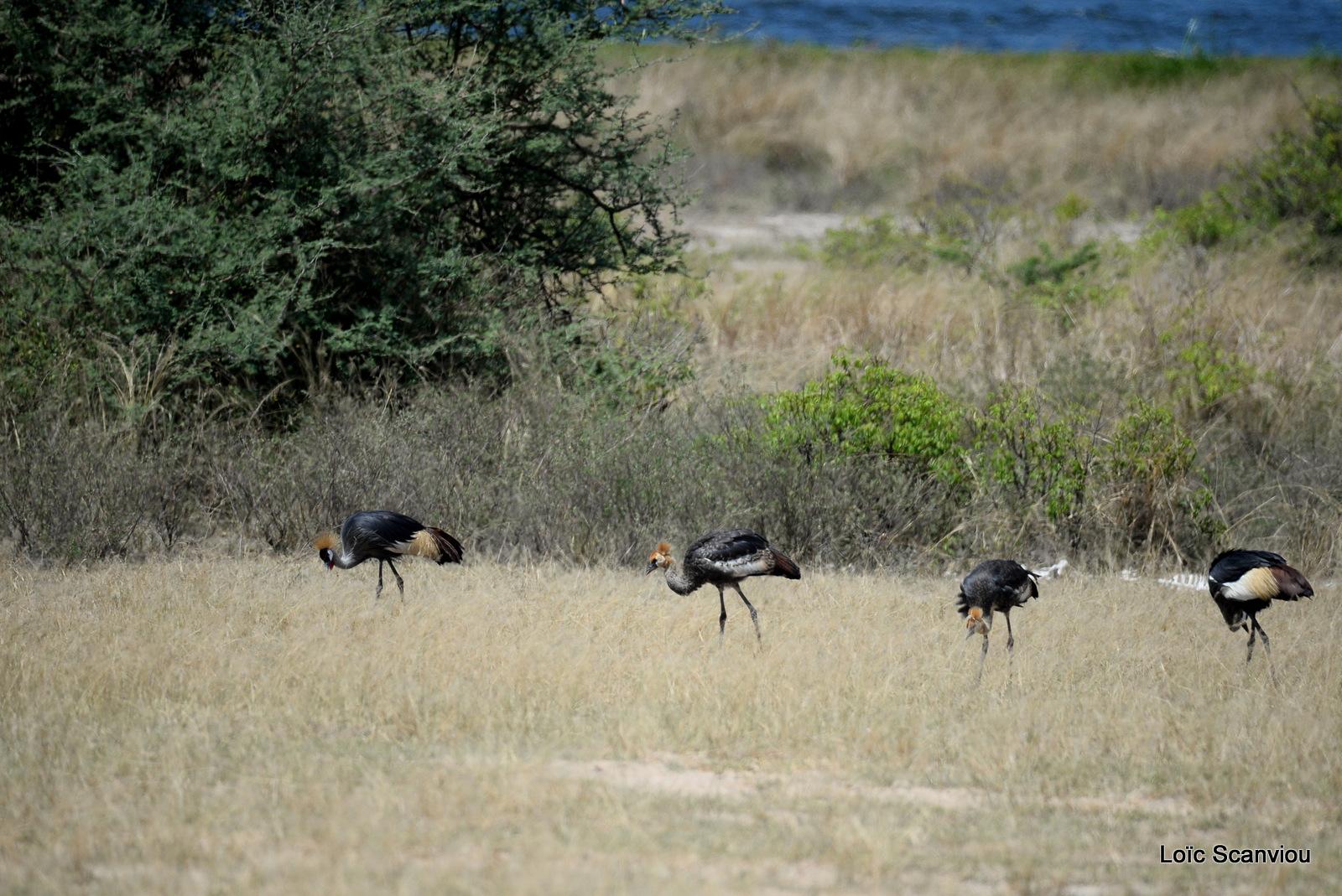 Grue royale/Grey-crowned Crane (4)