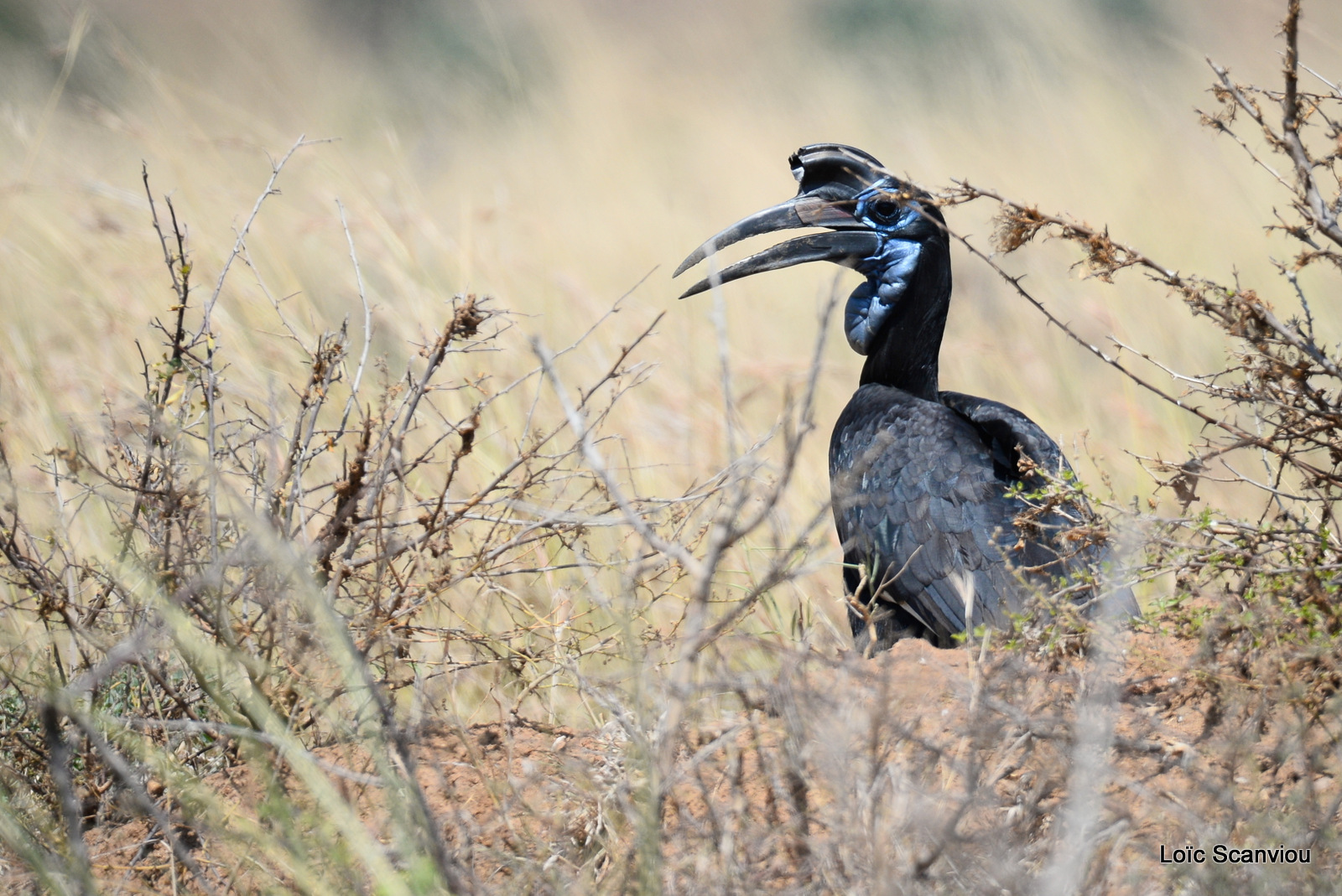 Bucorve d'Abyssinie/Abyssinian Hornbill (11)