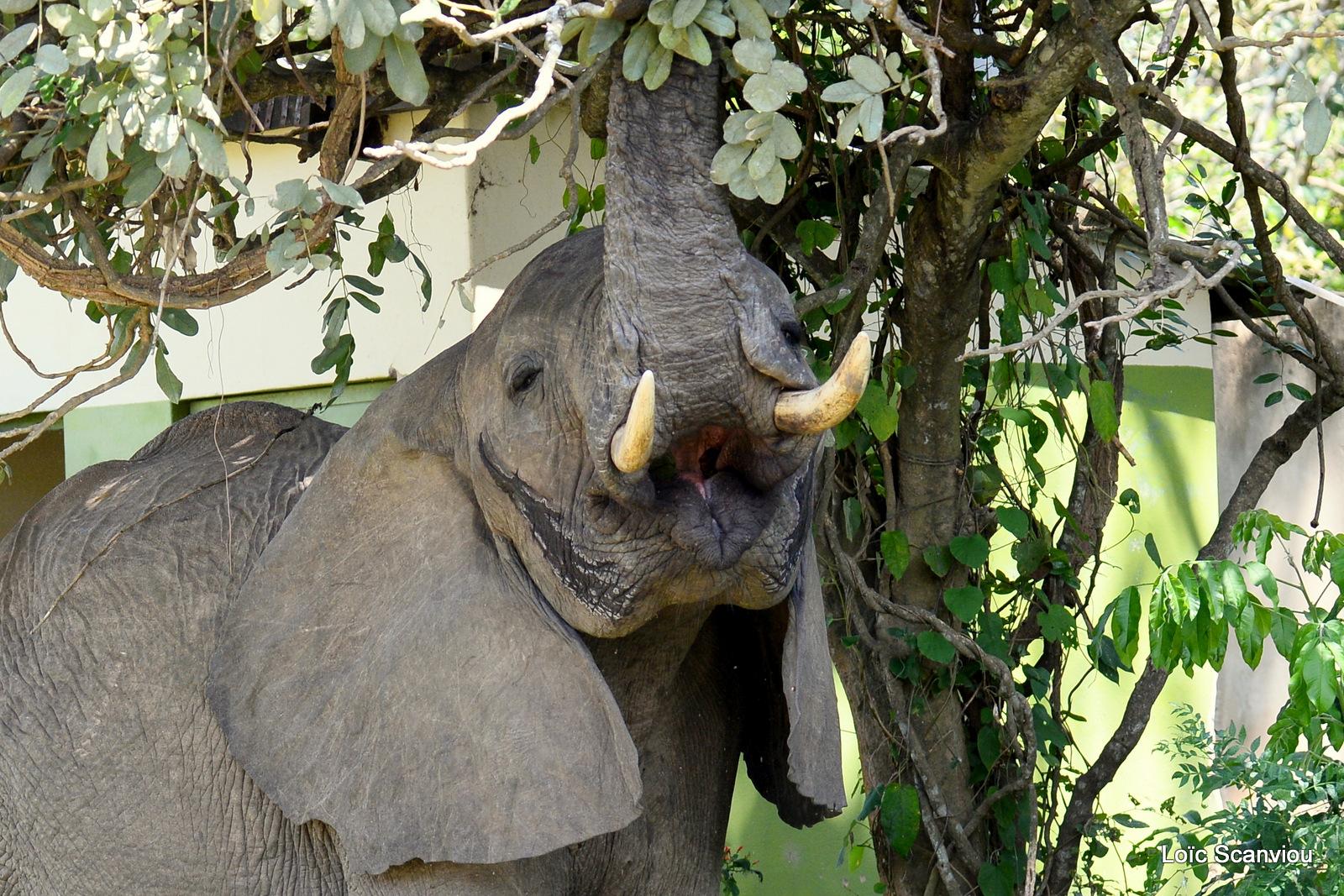 Éléphant de savane d'Afrique/Savanna Elephant (44)