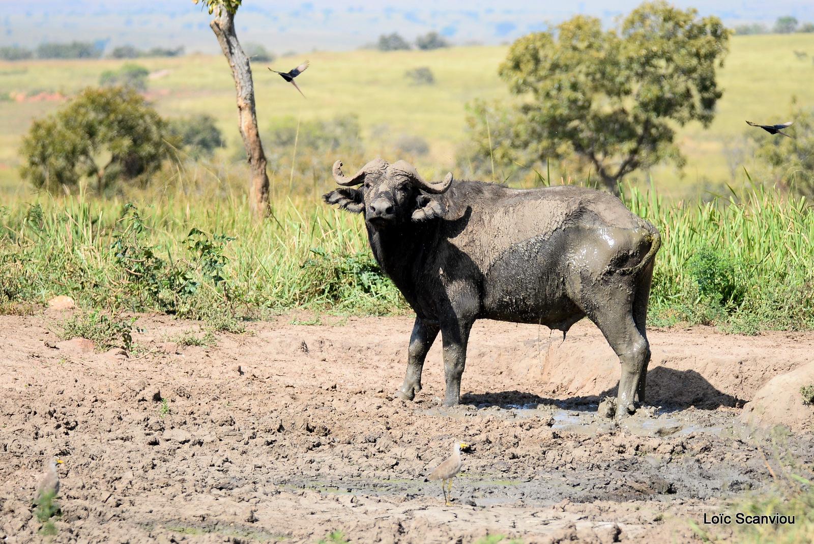 Buffle d'Afrique/Cape Buffalo (1)