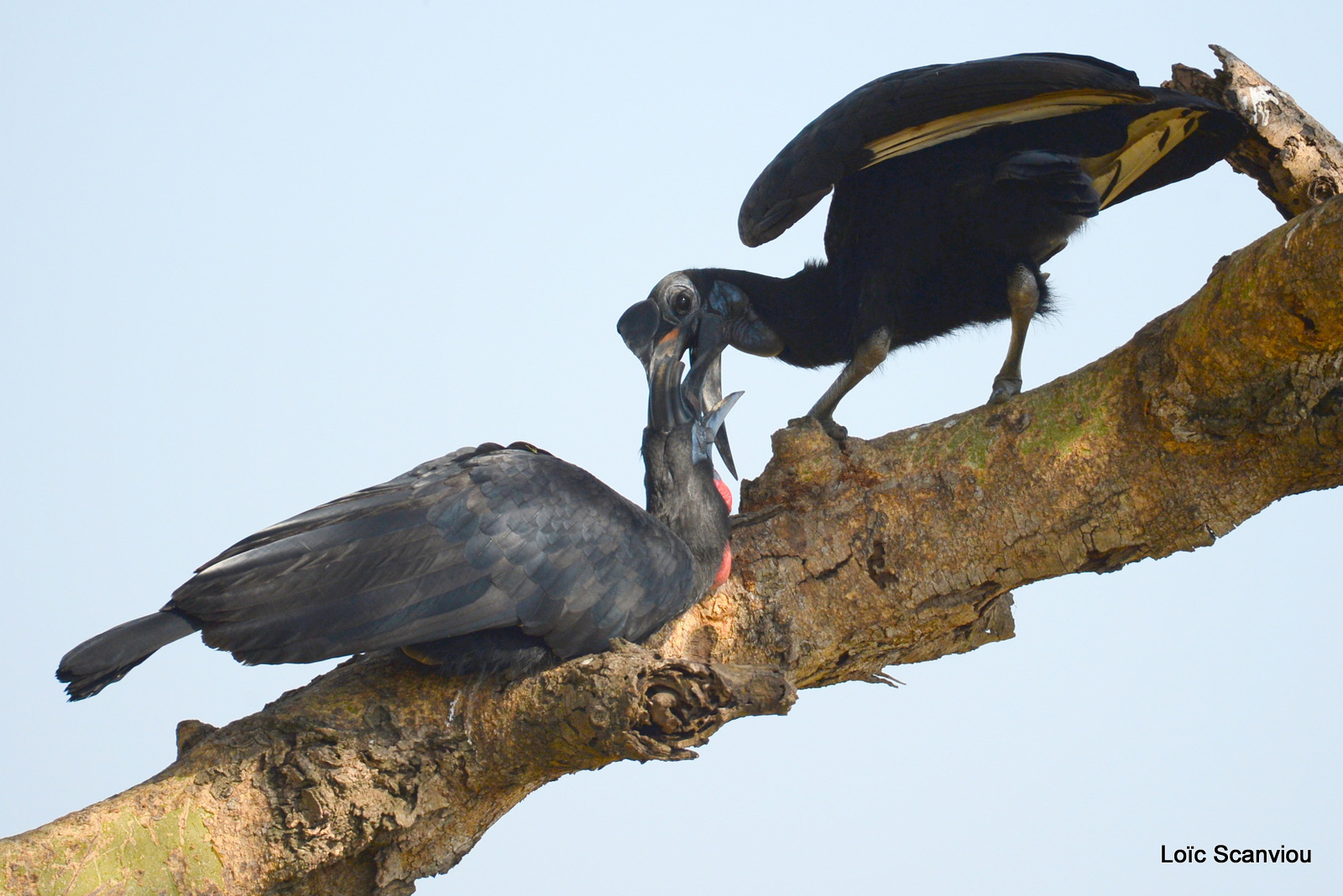 Bucorve d'Abyssinie/Abyssinian Hornbill (6)