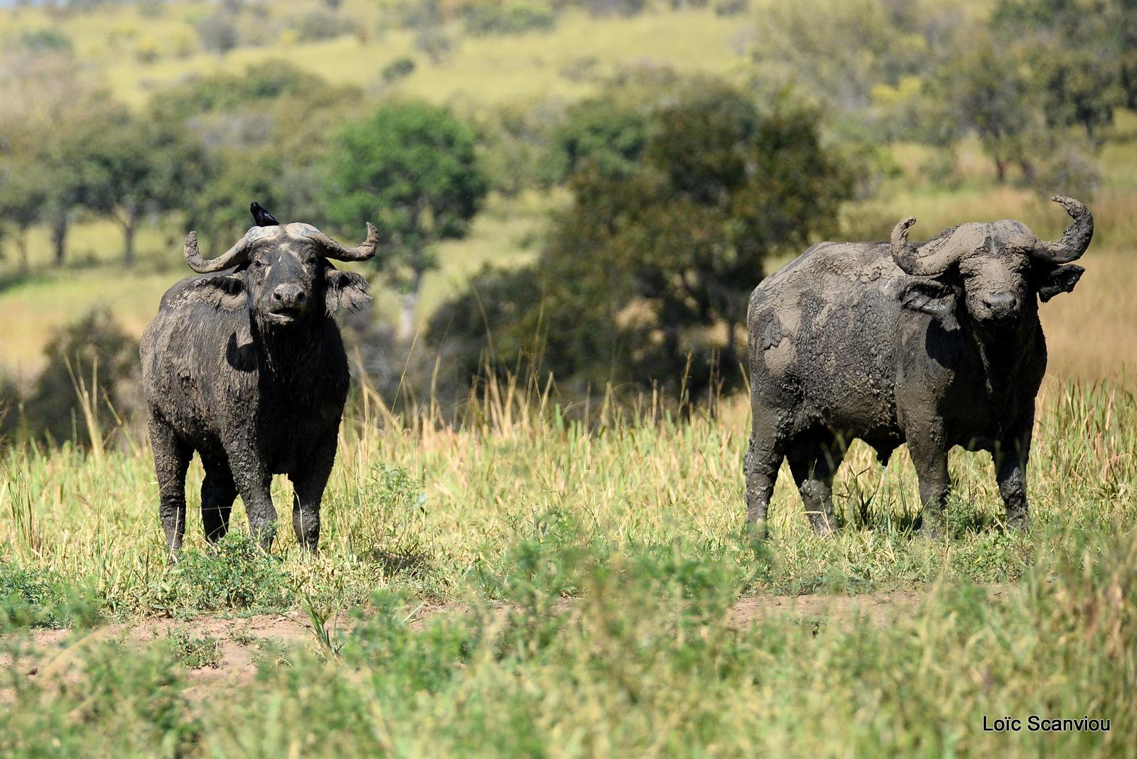 Buffle d'Afrique/Cape Buffalo (2)