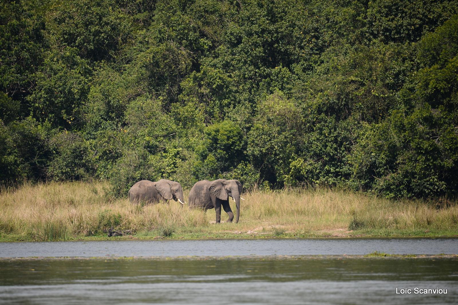 Éléphant de savane d'Afrique/Savanna Elephant (15)