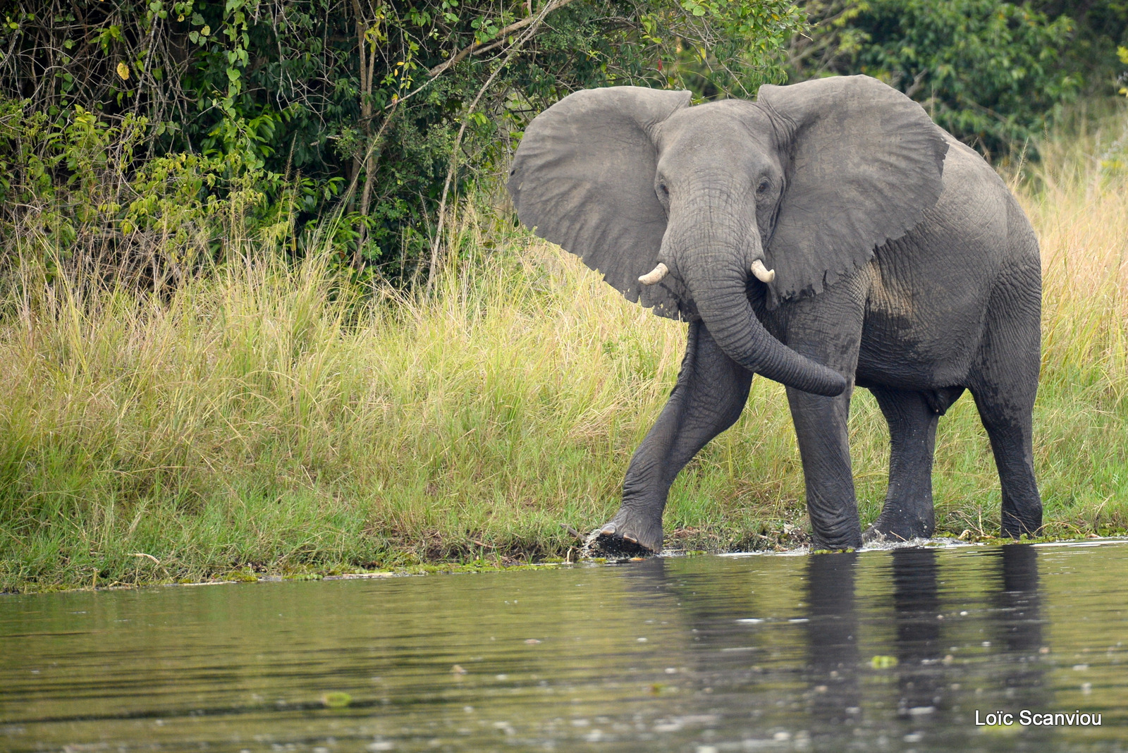 Éléphant de savane d'Afrique/Savanna Elephant (16)