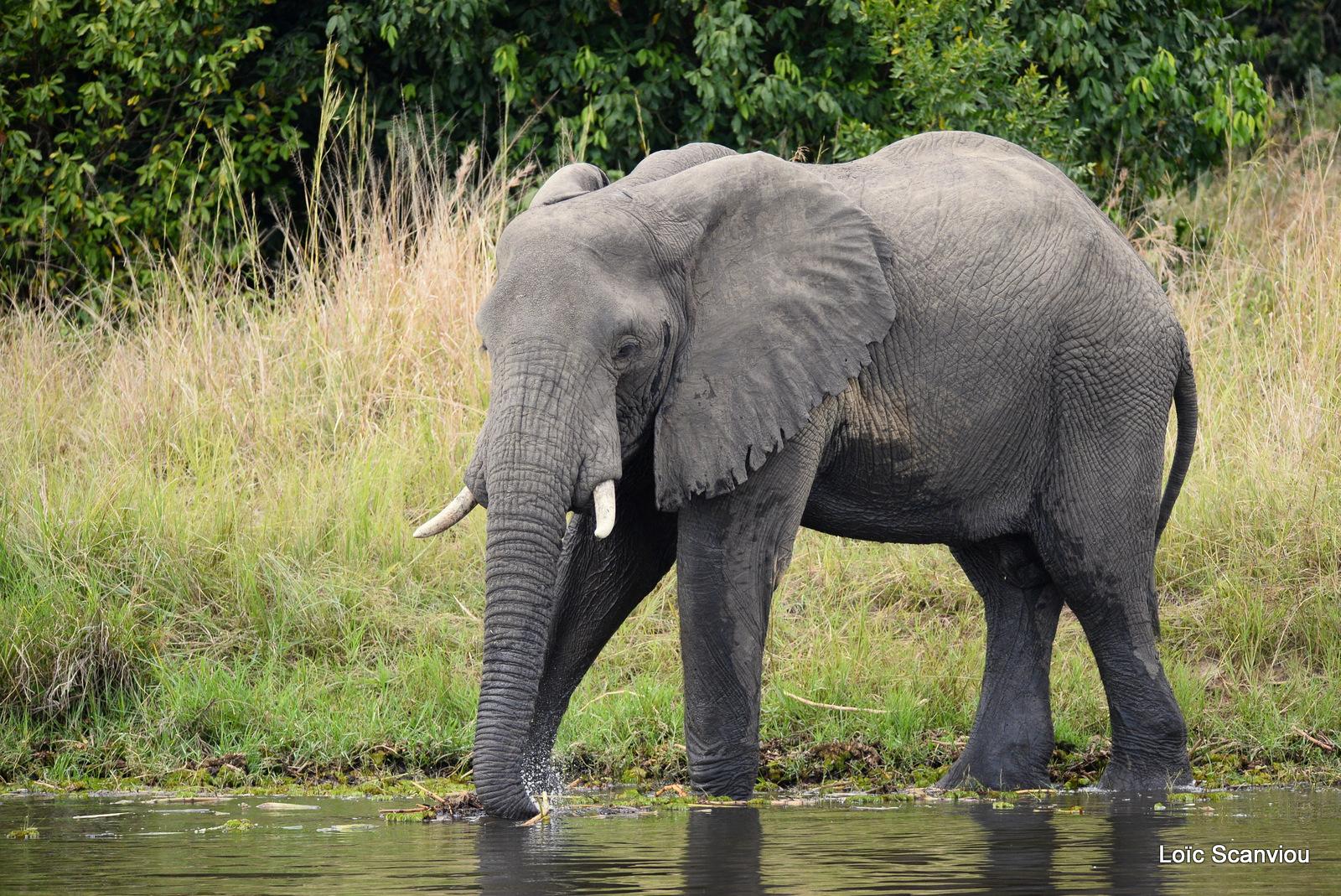 Éléphant de savane d'Afrique/Savanna Elephant (17)