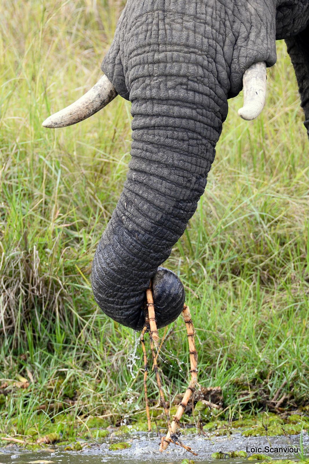 Éléphant de savane d'Afrique/Savanna Elephant (19)