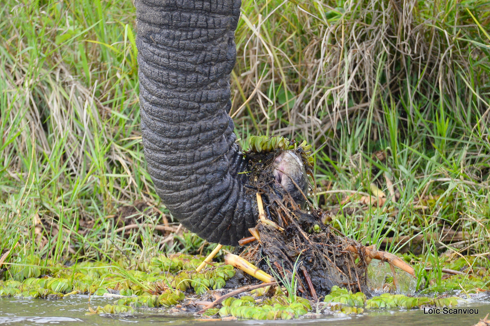 Éléphant de savane d'Afrique/Savanna Elephant (21)
