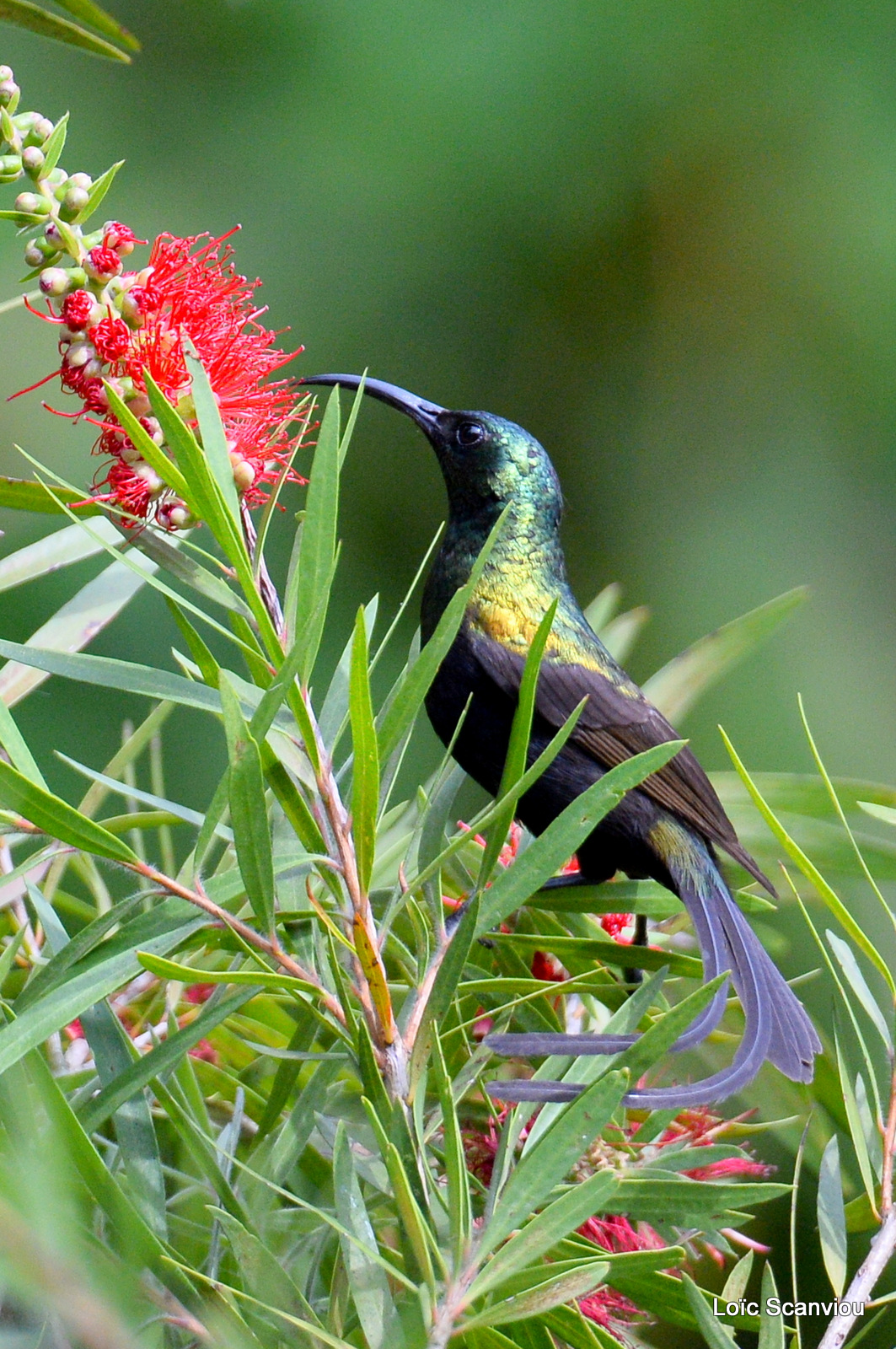 Souimanga bronzé/Bronze Sunbird (1)