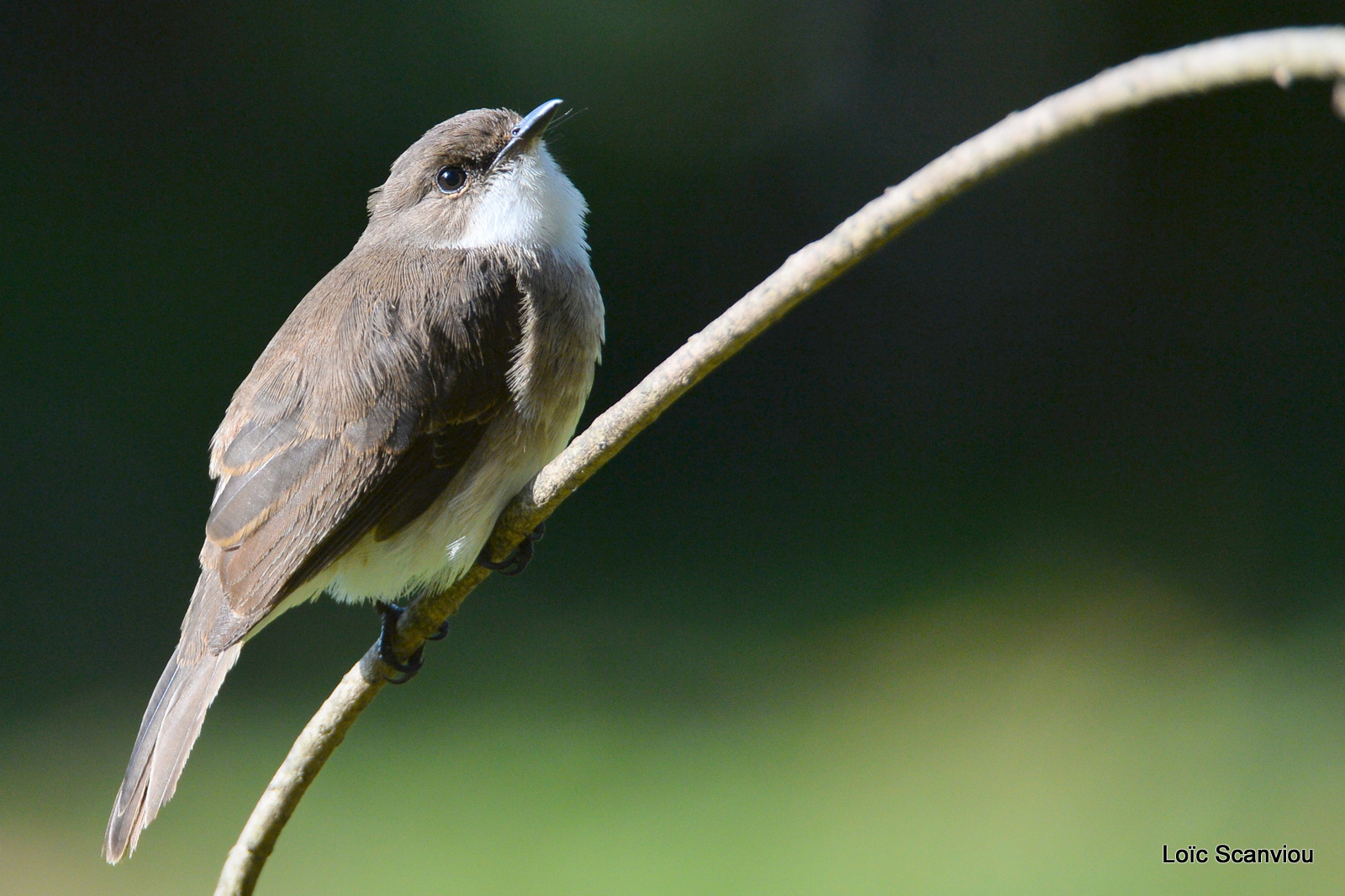 Gobemouche des marais/Swamp Flycatcher (2)