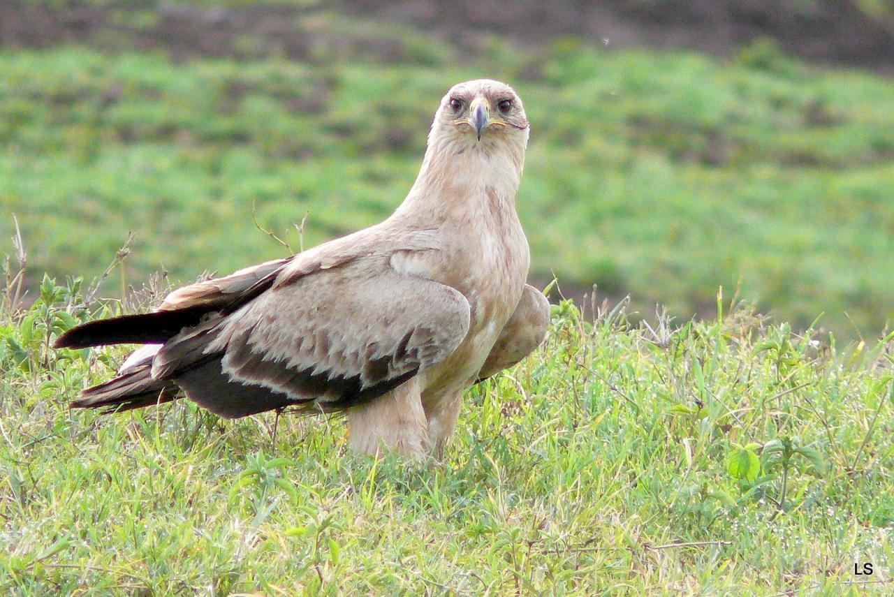 Aigle ravisseur/Tawny Eagle (1)