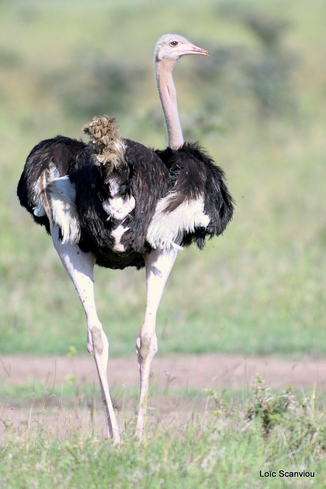 Autruche/Ostrich (2)