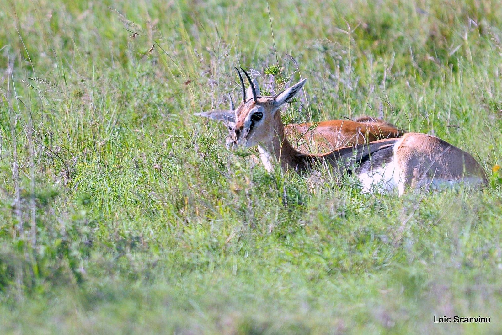 Gazelle de Thomson/Thomson's Gazelle (1)