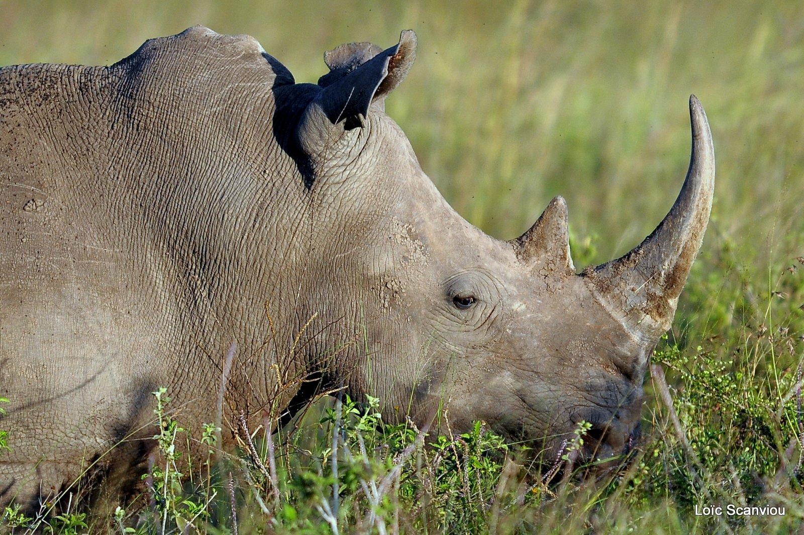Rhinocéros blanc/White Rhino (4)
