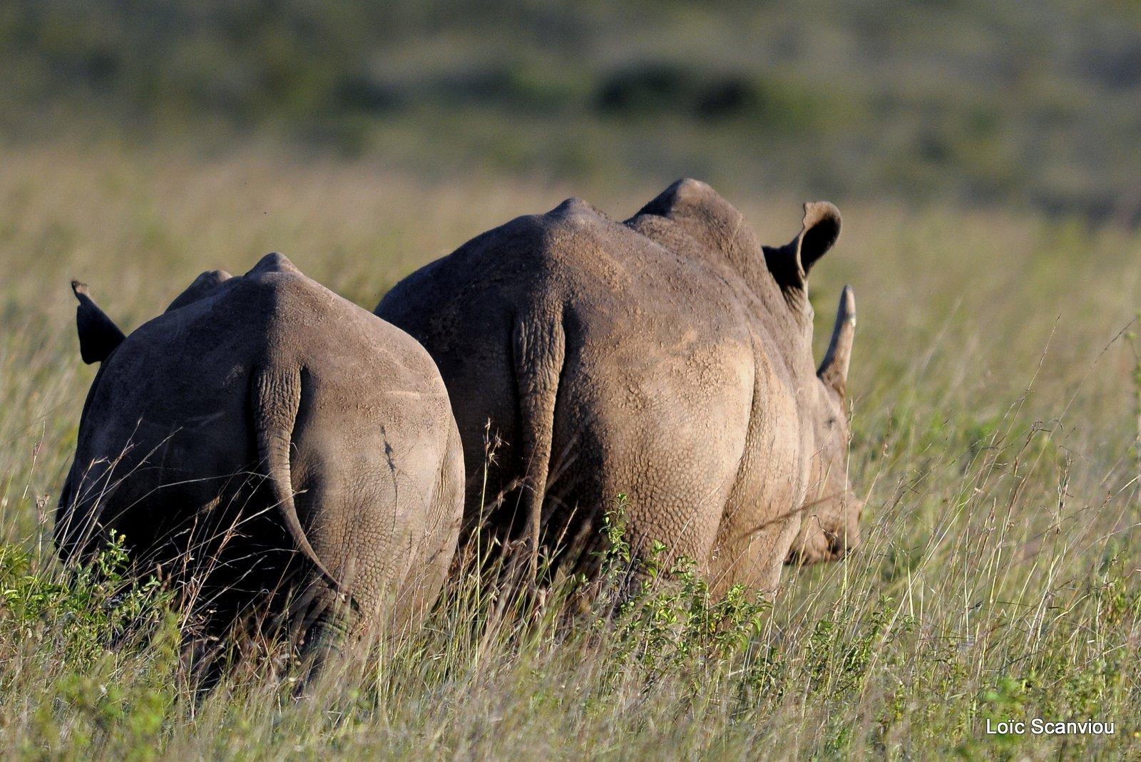 Rhinocéros blanc/White Rhino (5)
