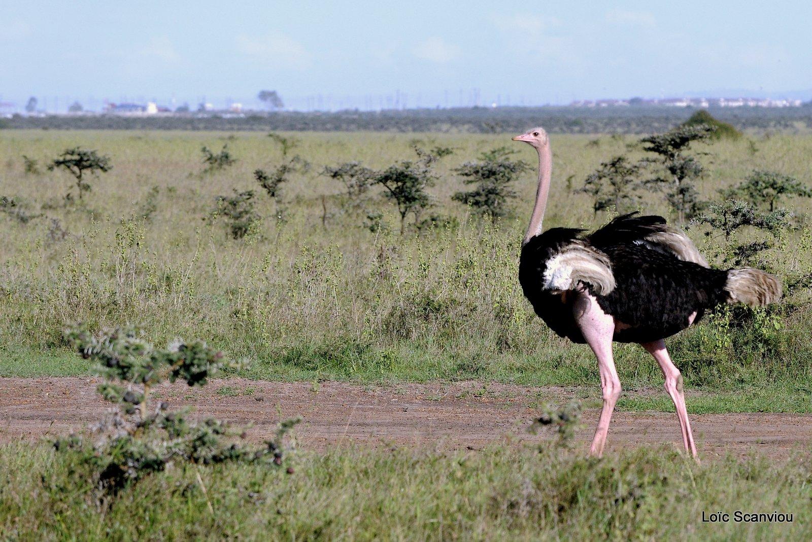 Autruche/Ostrich (3)