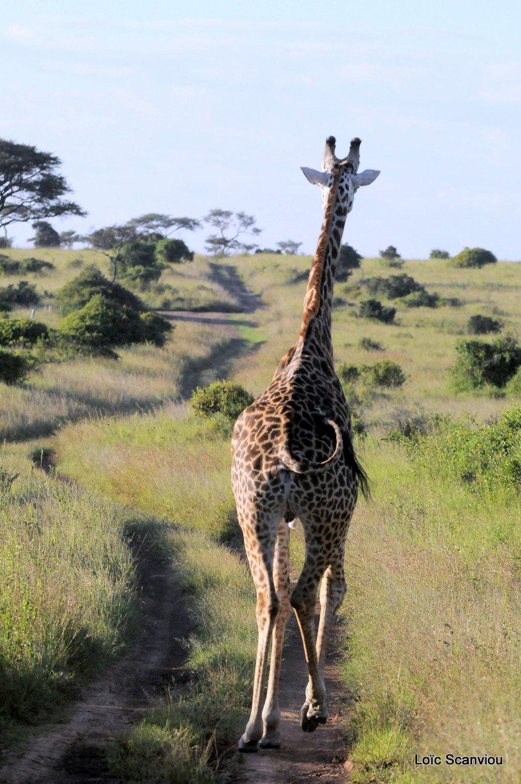 Girafe/Giraffe (1)