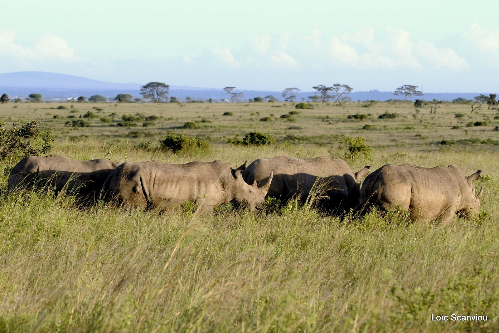 Rhinocéros blanc/White Rhino (1)