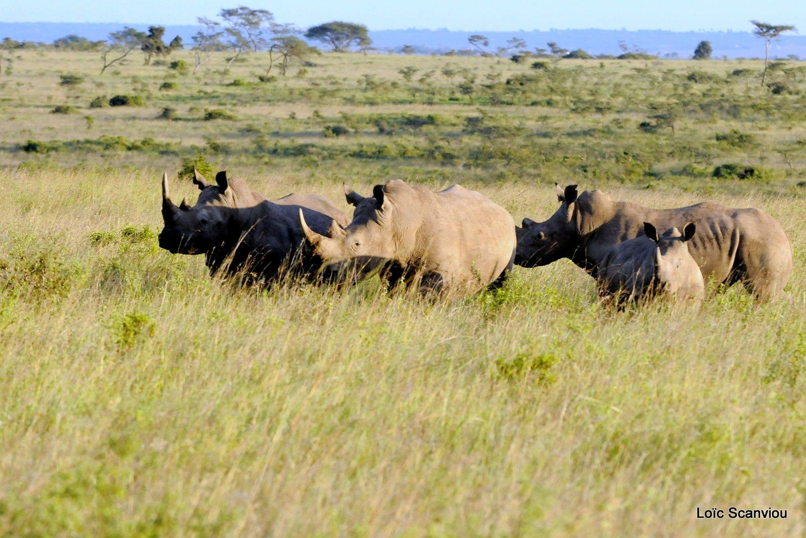 Rhinocéros blanc/White Rhino (2)