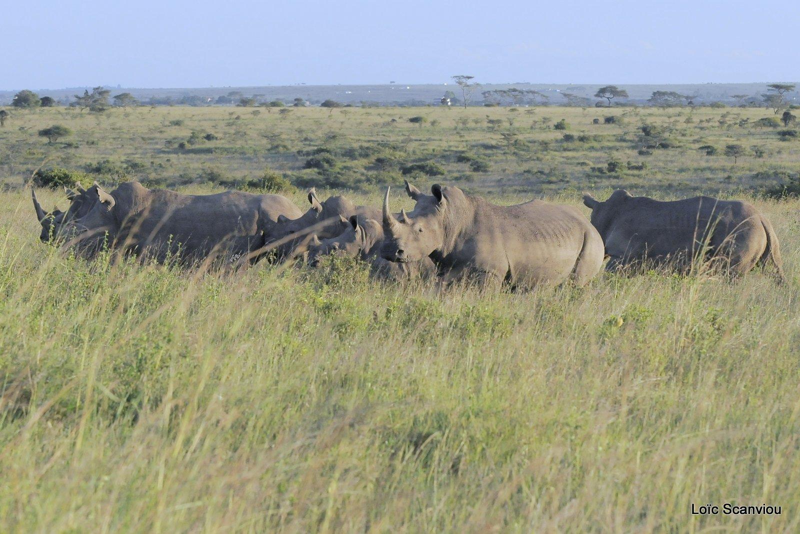 Rhinocéros blanc/White Rhino (3)
