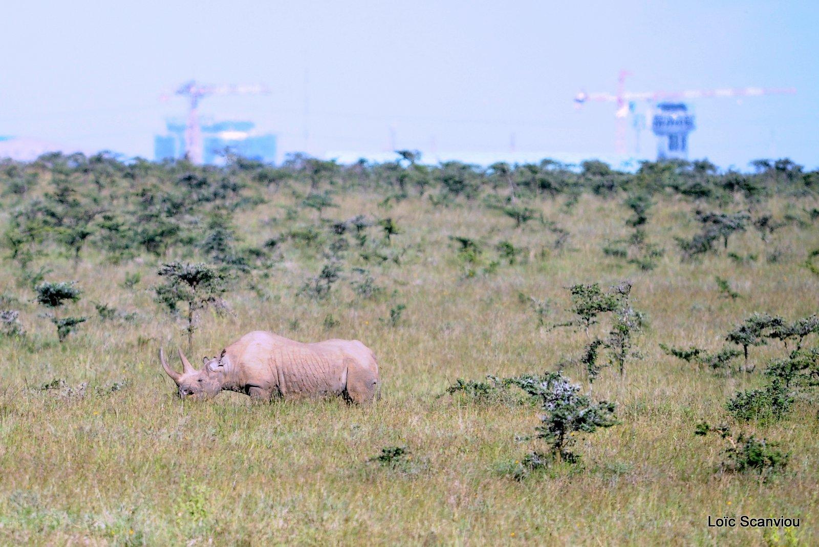 Rhinocéros noir/Black Rhino (1)
