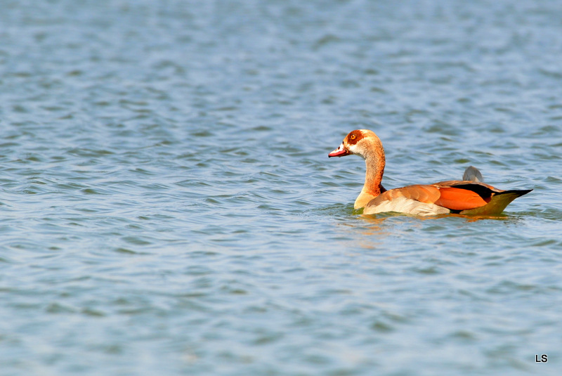 Ouette d' Egypte/Egyptian Goose (1)