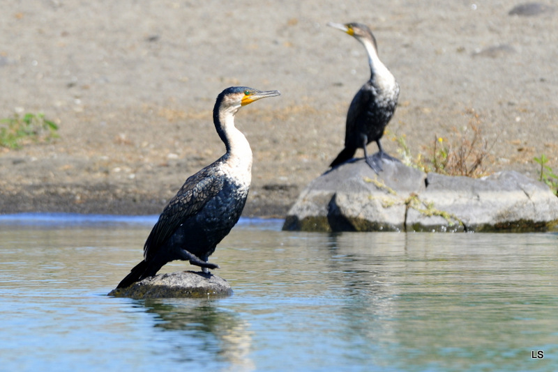 Cormoran/Cormorant (2)