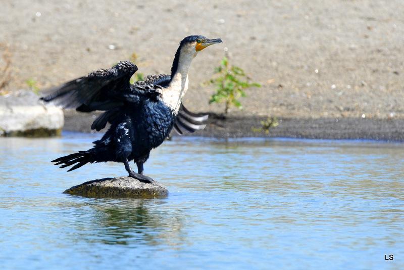 Cormoran/Cormorant (3)
