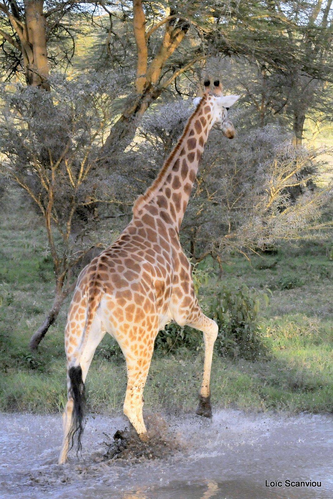 Girafe/Giraffe (5)