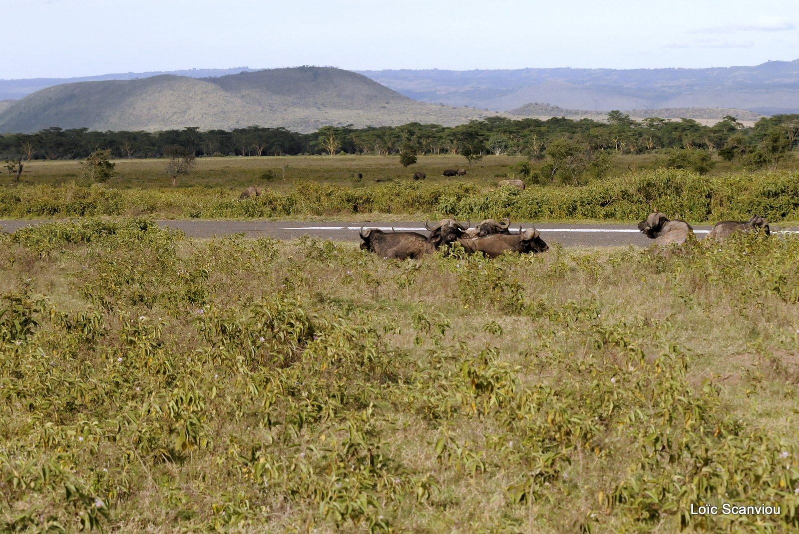 Buffle du Cap/Cape Buffalo (23)