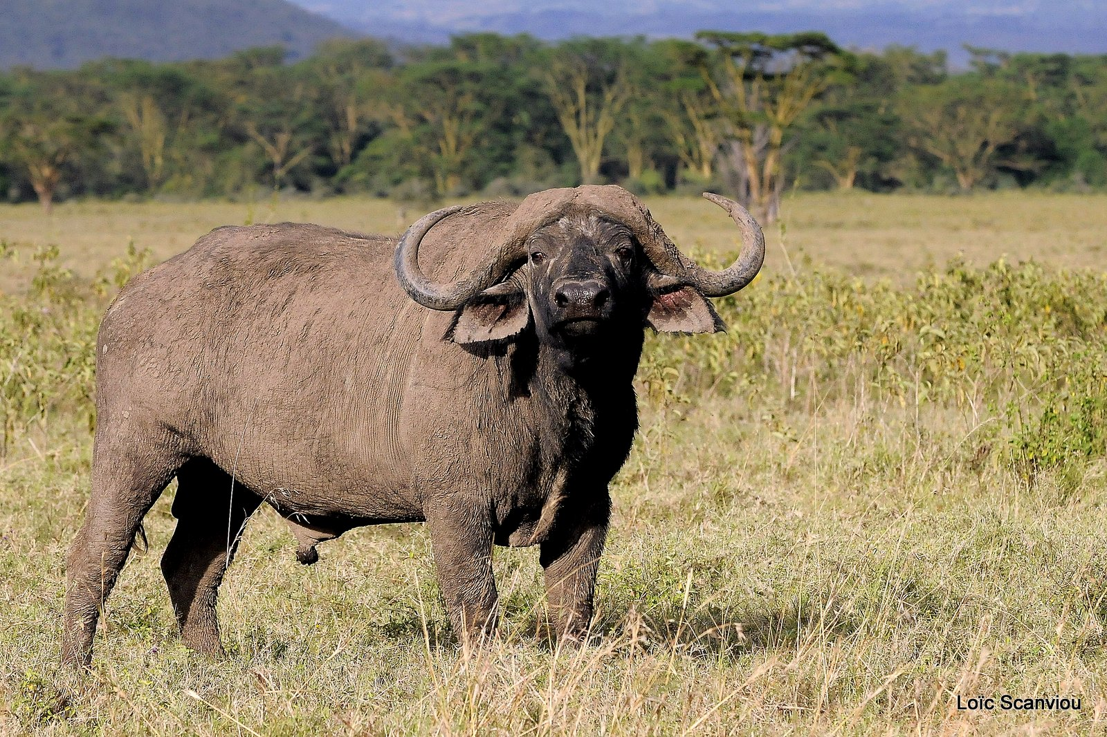 Buffle du Cap/Cape Buffalo (3)