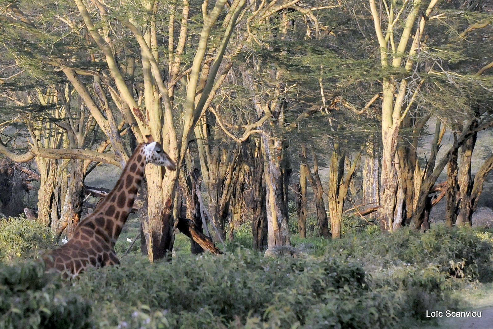 Girafe/Giraffe (3)