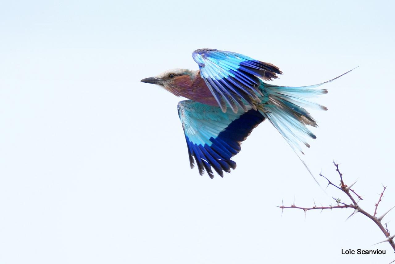 Rollier à longs brins/Lilac-breasted Roller (1)