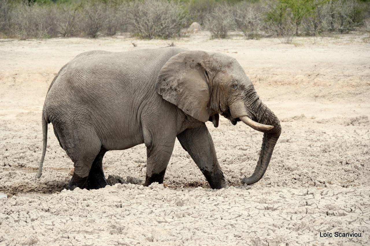 Elephant (38)