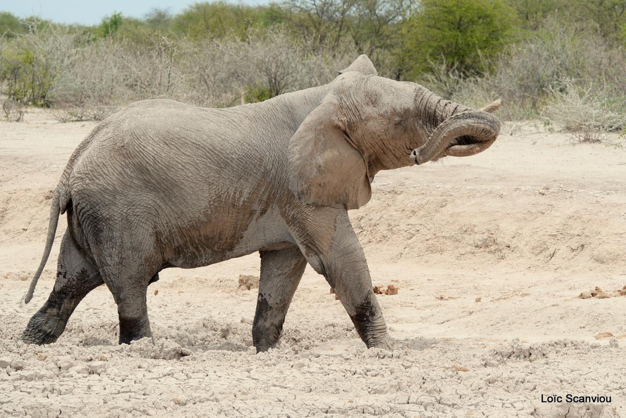 Elephant (42)
