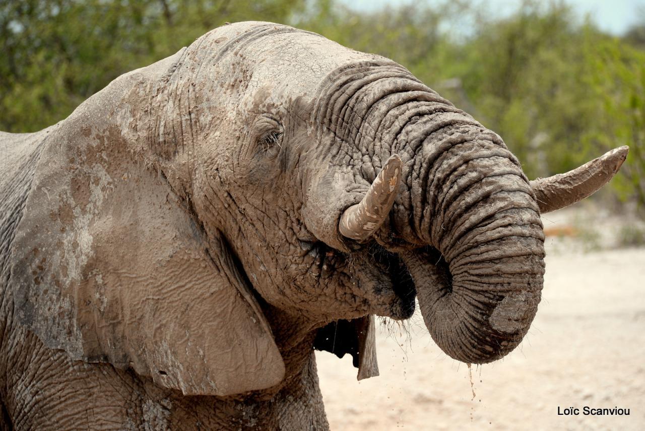 Elephant (50)
