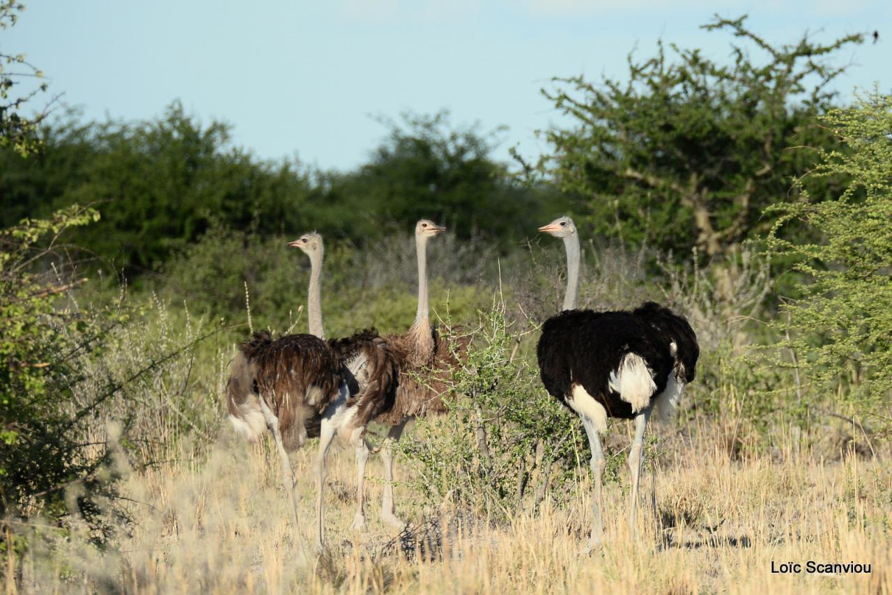 Autruche/Ostrich (1)