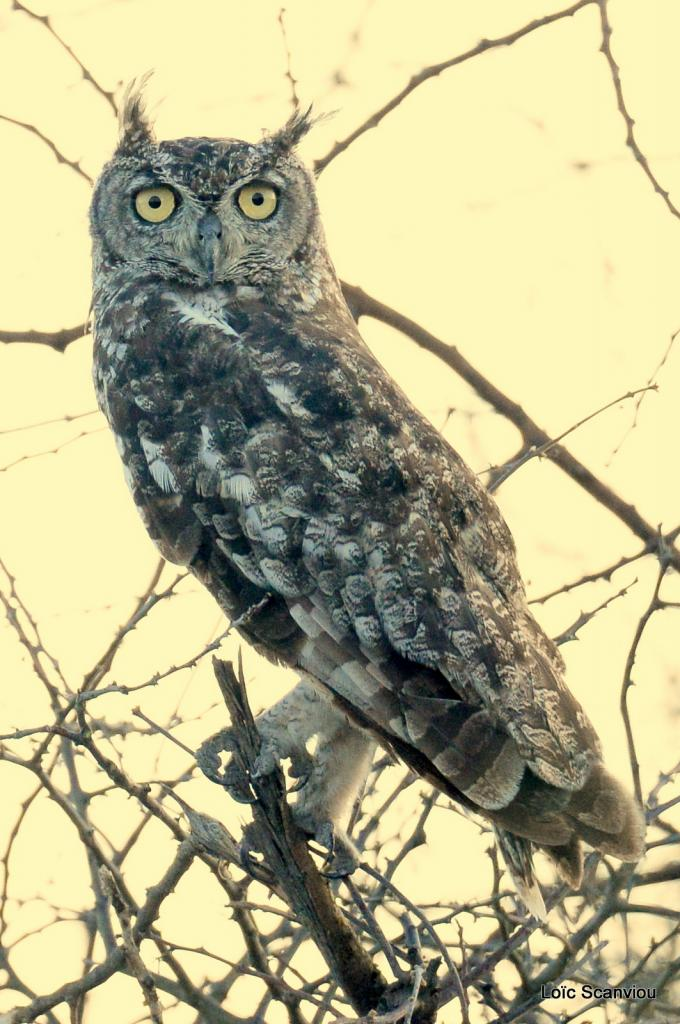 Grand-duc africain/Spotted Eagle-Owl (1)