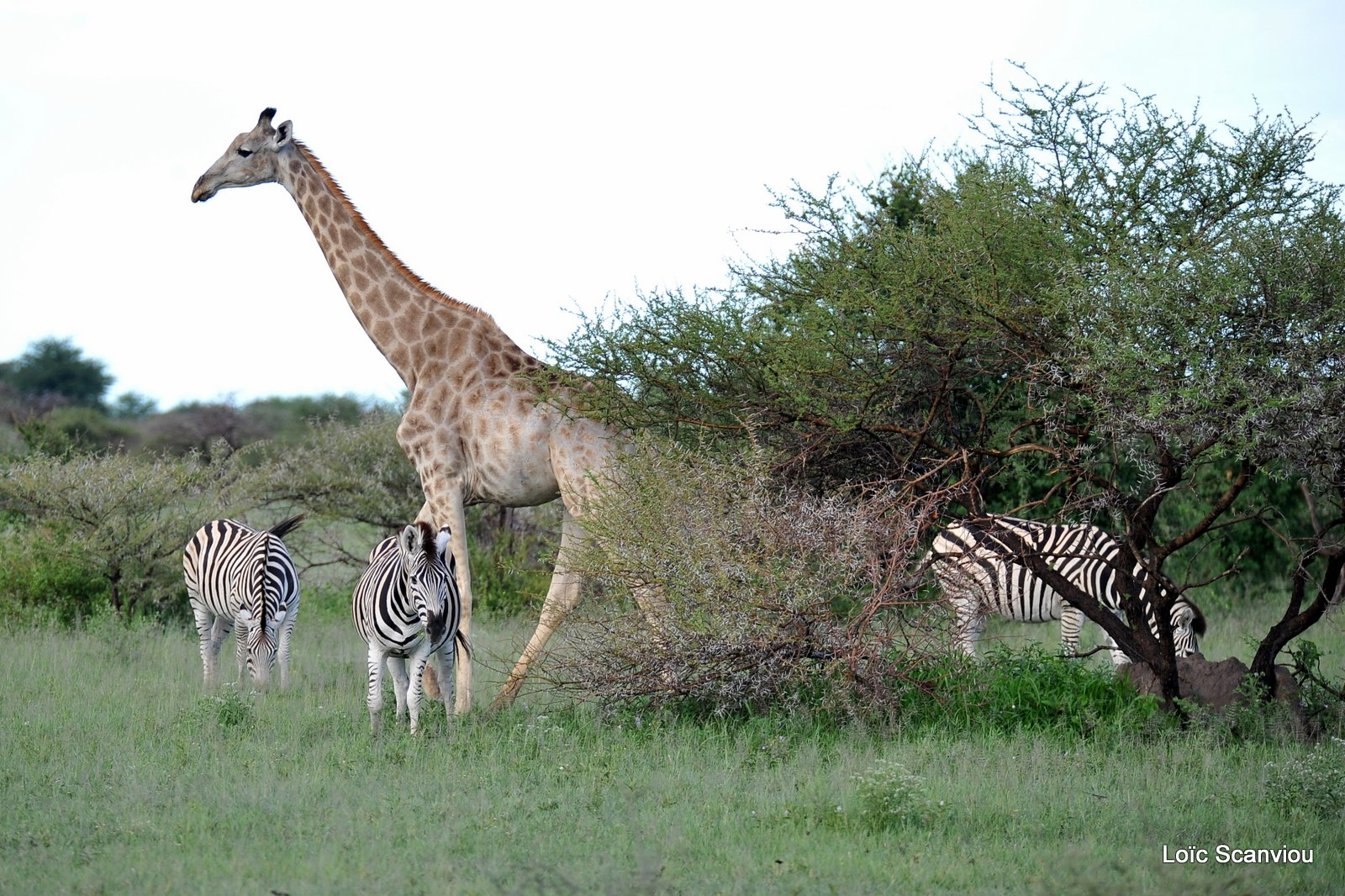 Girafe du Sud/Southern Giraffe (1)